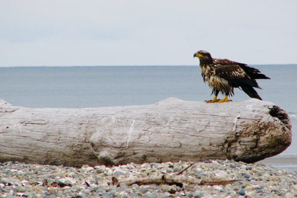 juv eagle 2007 IMG_0053